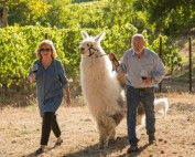 Ken and Celia Austin walking a llama through their vineyard.